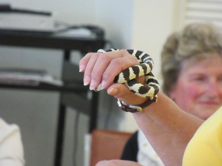 RSV 3428 Web750 Reptiles, CA King Snake